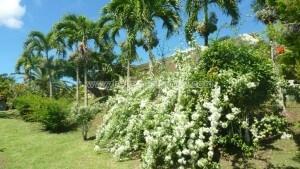 G--te-de-France-N--365-3-pers-2---pis-Saint-Luce-Martinique-6.jpg